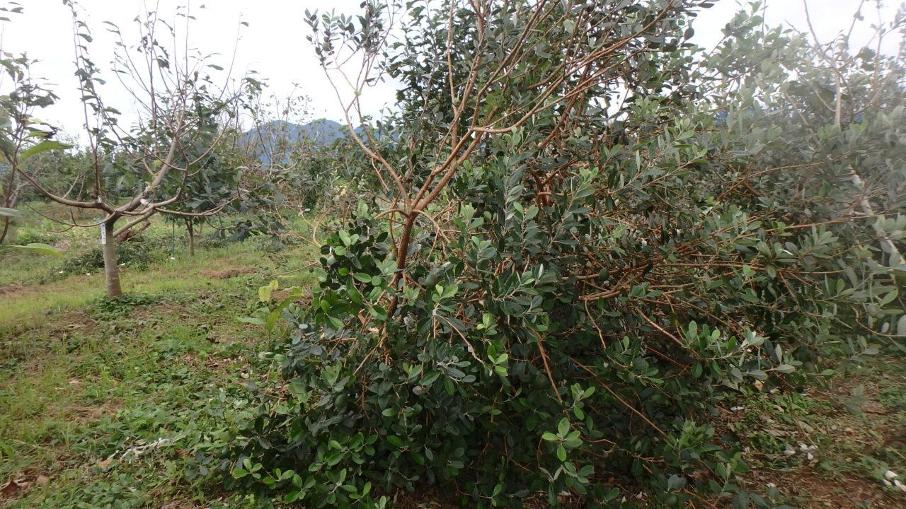 2018年、台風で倒れたフェイジョアの木